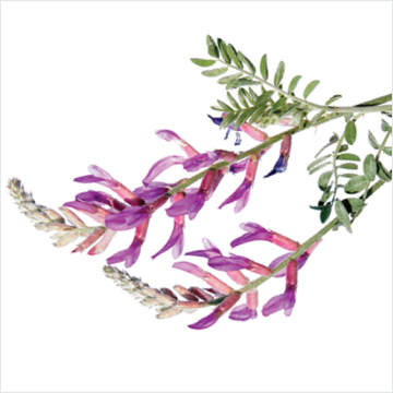 Astragalus: not just for immunity